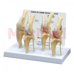 Model - psí koleno s různými fázemi onemocnění osteoartritidou