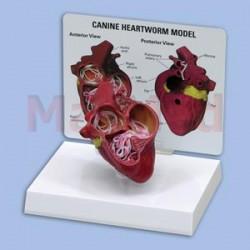 Model - psí srdce střední velikosti infikované srdeční červivostí - průřez