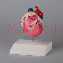 Model - srdce psa střední velikosti - lze rozložit na dvě části.