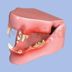 Model - čelist kočky střední velikosti se zdravými zuby na pravé straně a poškozenými zuby na levé straně
